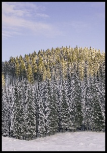 Plakat wintery forest