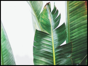 Plakat tropical leaves