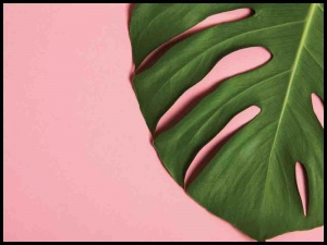 Plakat pink monstera