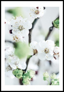Plakat white blossoms